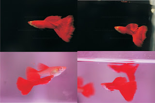 Jual Super Red Guppy, Guppy Full Red