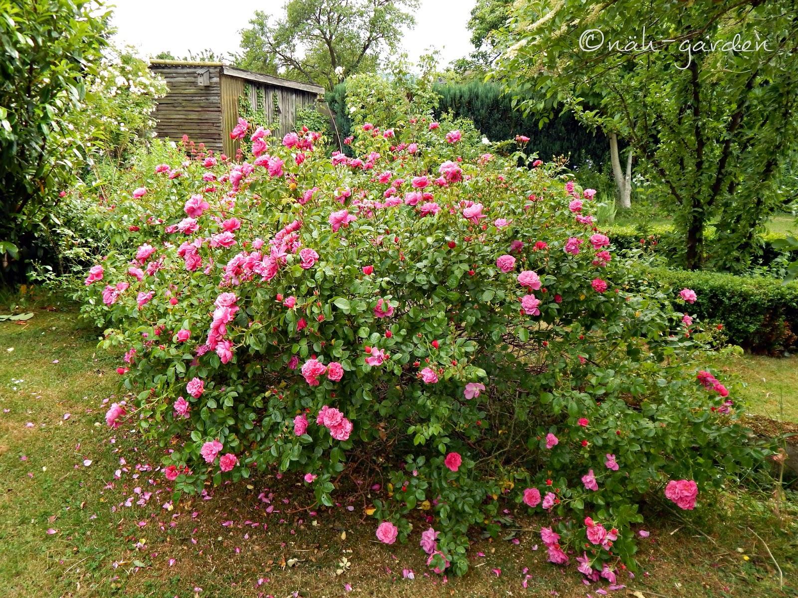 n h garden rosen gibt es eine sch nere bl te. Black Bedroom Furniture Sets. Home Design Ideas