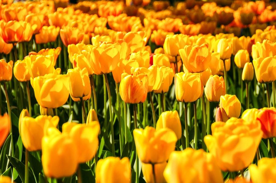 wiosenne żółte tulipany