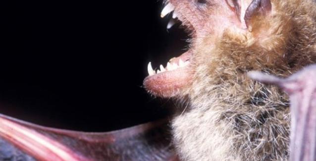 Αμαζόνιος: Νυχτερίδες – βαμπίρ άρχισαν να «τρώνε» ανθρώπους
