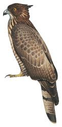 Philippine Honey-buzzard