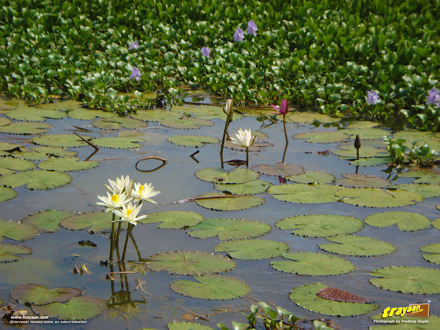 The Water Lilies and the Water Hyacinths, in the pond