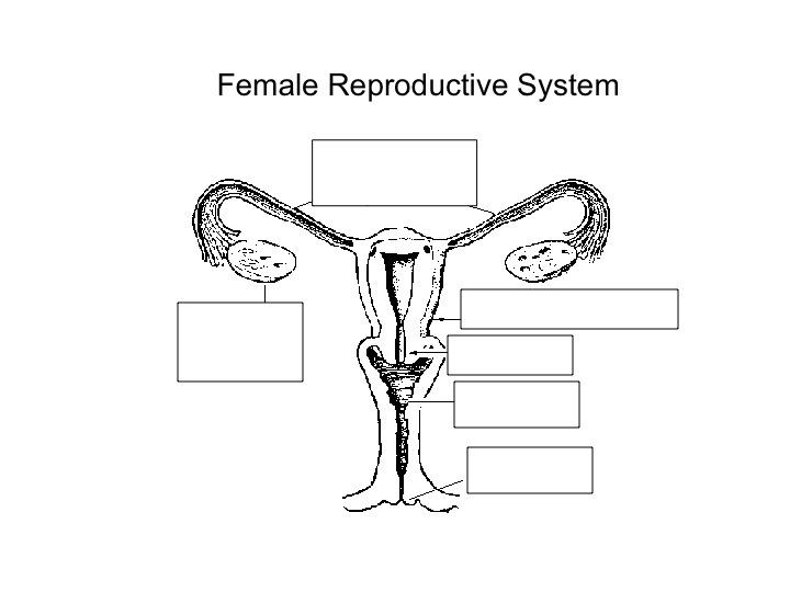 7th grade female reproductive anatomy diagram