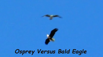Osprey Attacks Bald Eagle