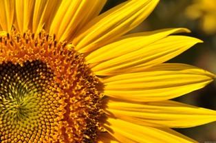 Sunflower detail_from Spiritual Mechanics of Diabetes blog