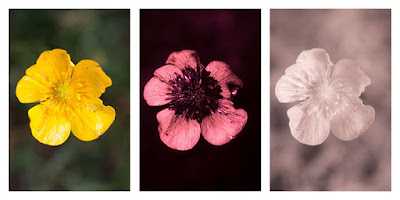 Ranunculus acris (Meadow buttercup) flower photographed in visible light (left), ultraviolet (middle), and infrared (right)