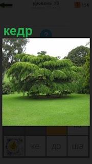 На большой зеленой поляне растет дерево кедр, раскинув в стороны густые  ветви