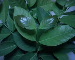 obat herbal diabetes dari daun salam