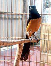 Model Tangkringan Sangkar Burung