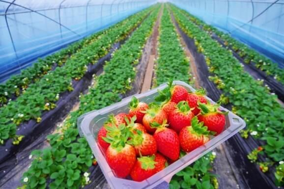 ladang strawberry cameron highland