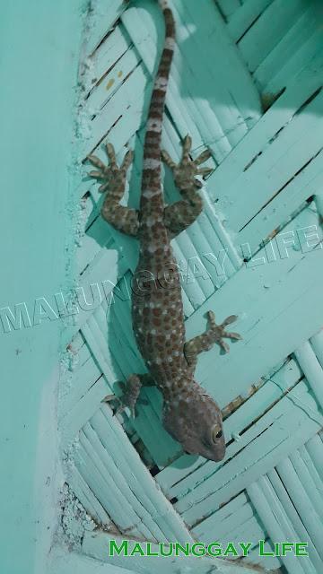 Palawan Gecko