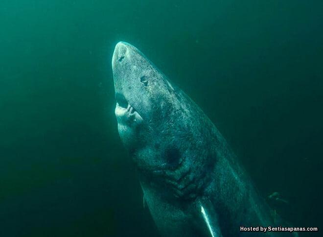 Ikan Yu Paling Tua Di Dunia Berusia 512 Tahun!