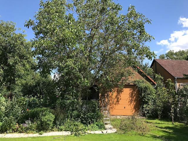 die Krone des Walnußbaumes ist auch nicht gesund und satt grün (c) by Joachim Wenk
