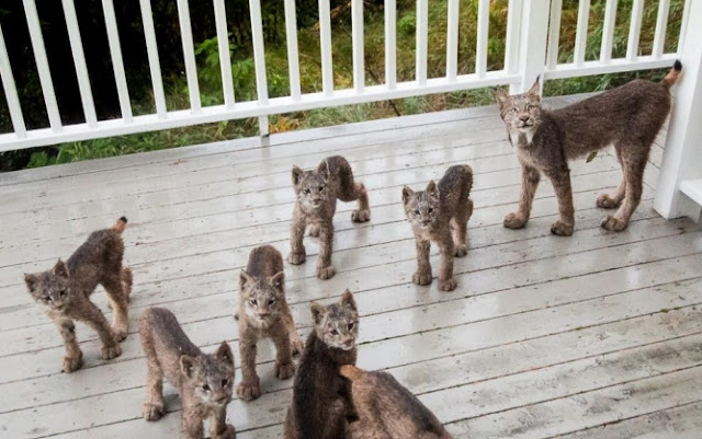 Mama Lynx And Her Seven Kittens Make Surprise Visit To Alaska Resident