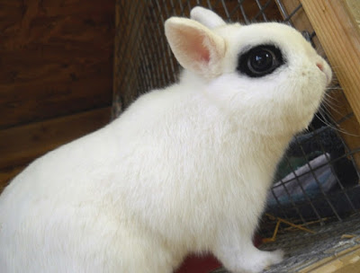 jenis kelinci dwarf hotot sang eyes of the fancy