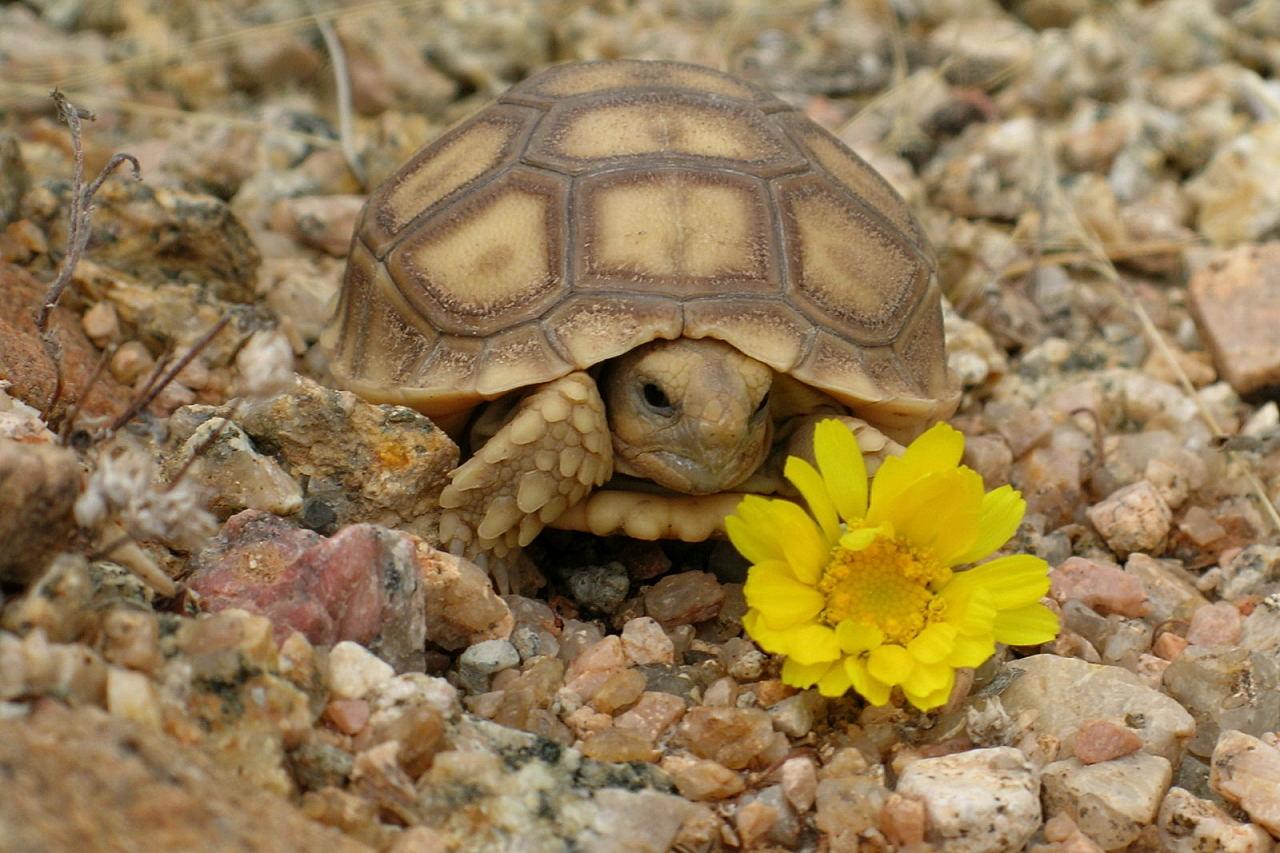 Desert Tortoise | Animal Wildlife