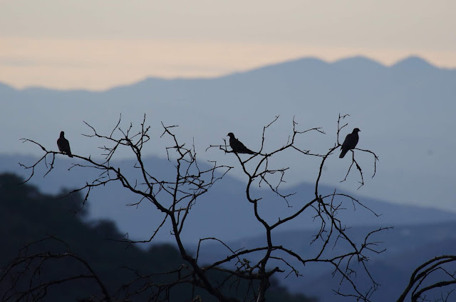 Band-tailed Pigeon mountain silhouette