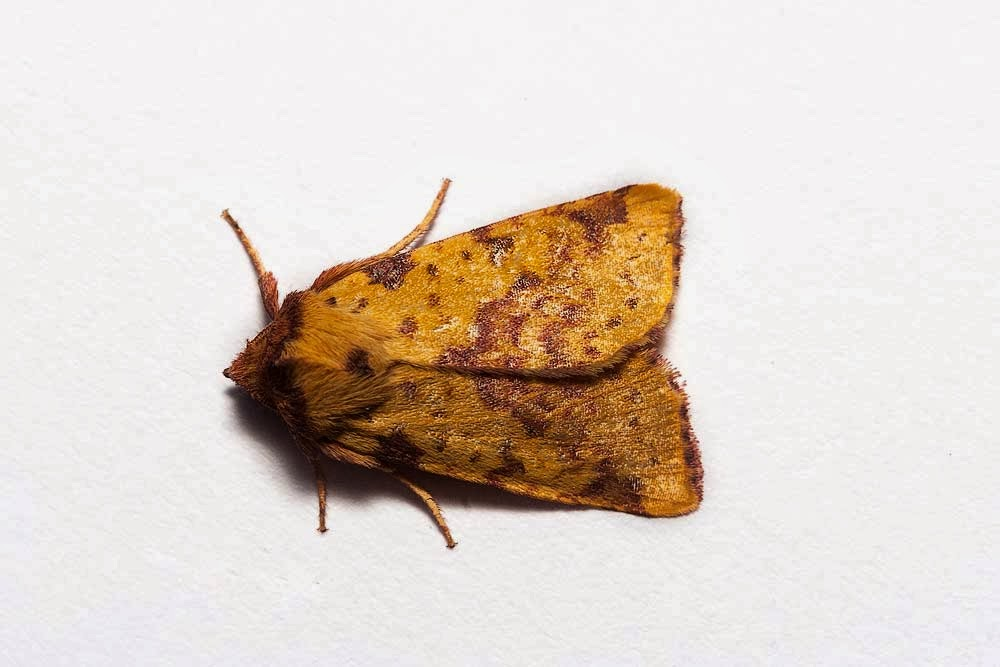 Pink-Barred Sallow - Milton Keynes