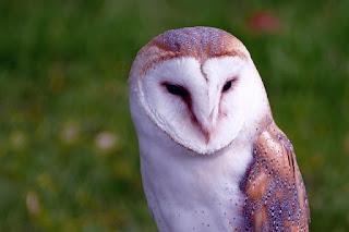 Jenis dan Harga Burung Hantu Terbaru 2017