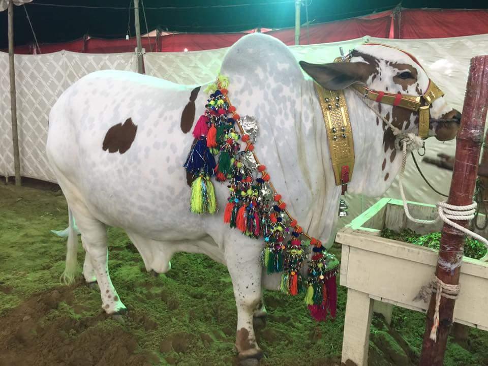 Karachi Cow Mandi 2019 New Pictures Photos Videos Lahore