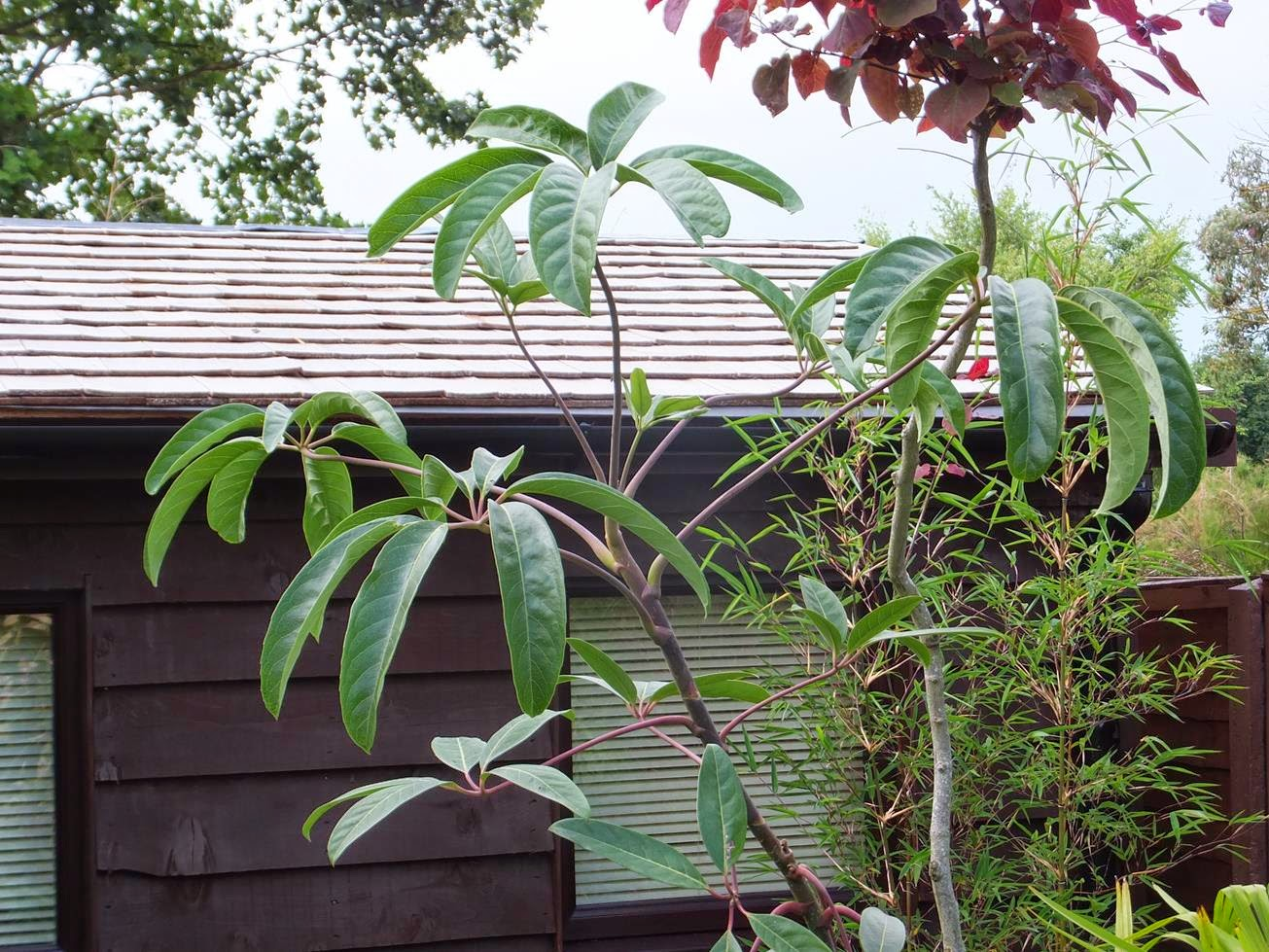 Schefflera alpina (large leaf form)