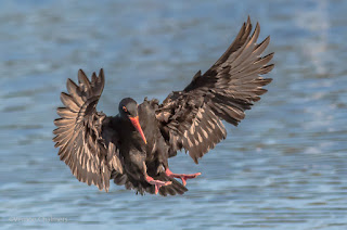 African Black Oystercatcher - Woodbridge Island / Table Bay Nature Reserve