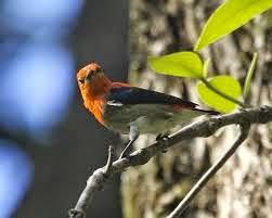 Made Kicau Blog Pecinta Burung Berkicau Merawat Burung Cabe Cabe Kemade Muda Hutan