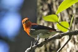 Merawat Burung Cabe Cabe/Kemade Muda Hutan