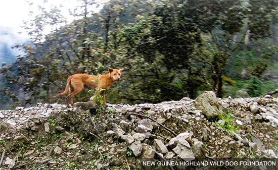 NEW GUINEA HIGHLAND WILD DOG FOUNDATION 1
