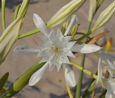 Narciso das areias