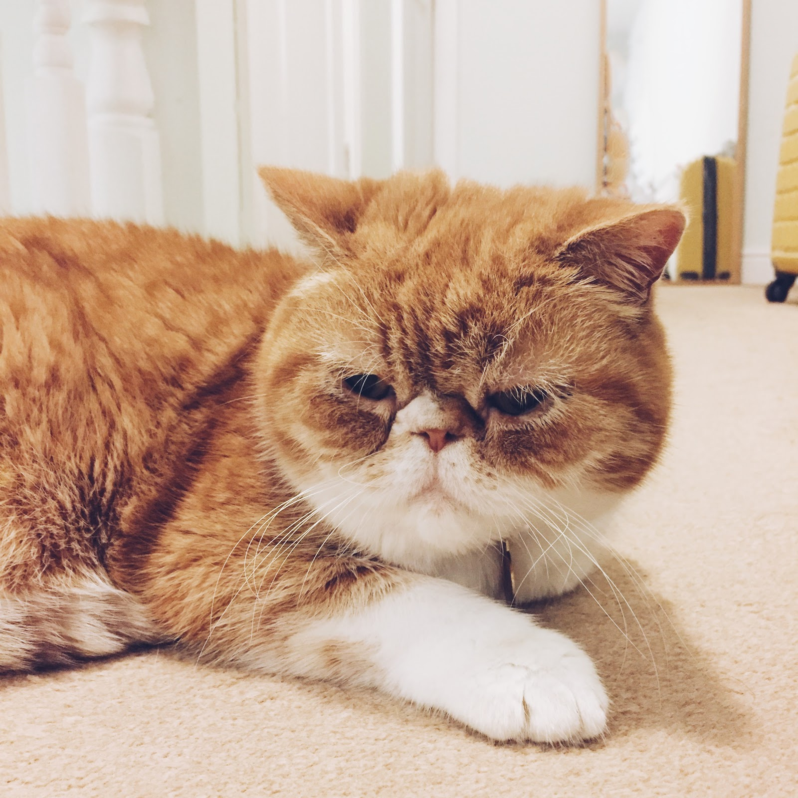 ginger exotic shorthair cat