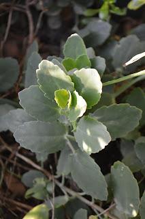 Kalanchoe Medicinal. Kalanchoe pinnata. Planta medicinal. Propiedades en estudio y notas encontradas.