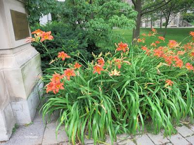 daylilies, Toronto