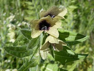 Jusquiame noire - Hyoscyamus niger