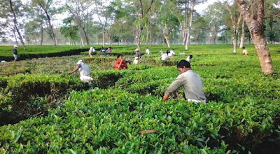 Closed two tea garden in dooars to reopen