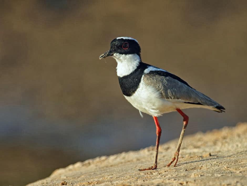 Chorlo de espolón: Vanellus cayanus
