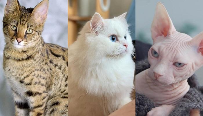 Inilah 7 Jenis Kucing Termahal di Dunia, Nomor 1 Harganya 1,7 Miliar