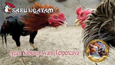 Cara Mengatasi Sabung Ayam Terkena Pukulan Jiling