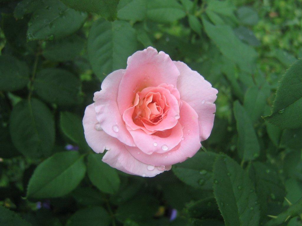 Beautiful pink rose wallpaper rose wallpapers - Beautiful red roses wallpapers desktop ...