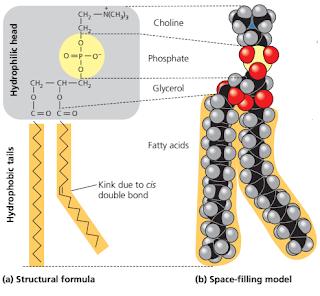 Fosfolipid adalah, gugus fosfat pada fosfolipid, asam lemak pada fosfolipid