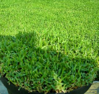 5 Jenis Rumput Taman Yang Cocok Untuk Rumah Bergaya Minimalis - Rumput Swiss