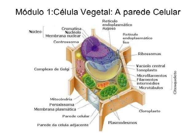 Ciências Biológicas Célula Eucariótica Vegetal
