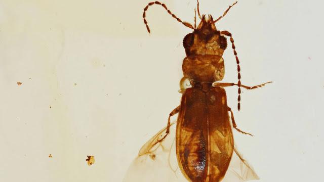Hallan en un ámbar un coleóptero polinizador de 99 millones años de edad