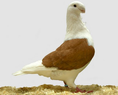 antwerp smerle pigeon for sale