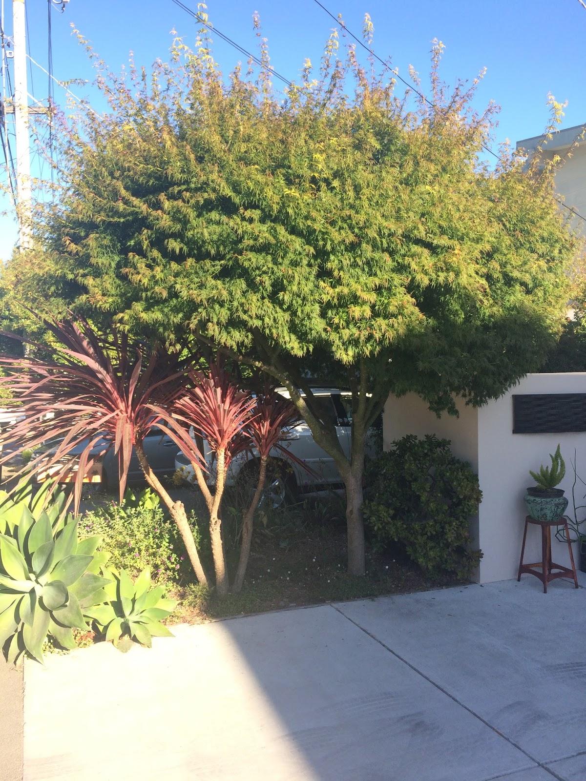 Trees of Santa Cruz County: Acer palmatum dissectum \'Seiryu ...