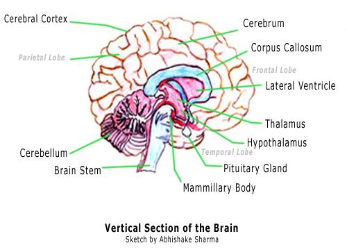brain jack image brain and parts. Black Bedroom Furniture Sets. Home Design Ideas