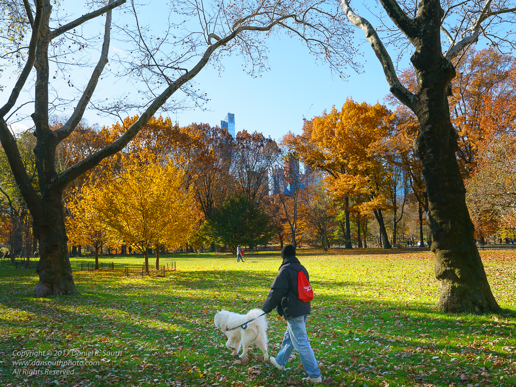 a photo of a white chow chow dog walking through central part in autumn color