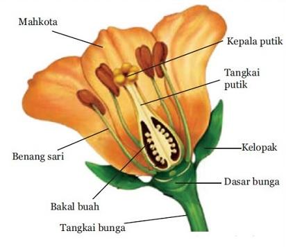 Klasifikasinya dan Struktur Bunga Kembang Sepatu