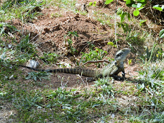 lucertola australia