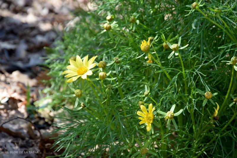 flores amarillas de flores mediterráneas de California